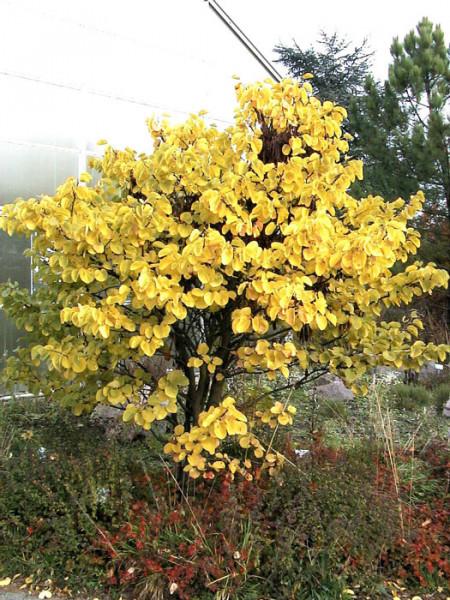 Goldgelbe Herbstfärbung des Judasbaum