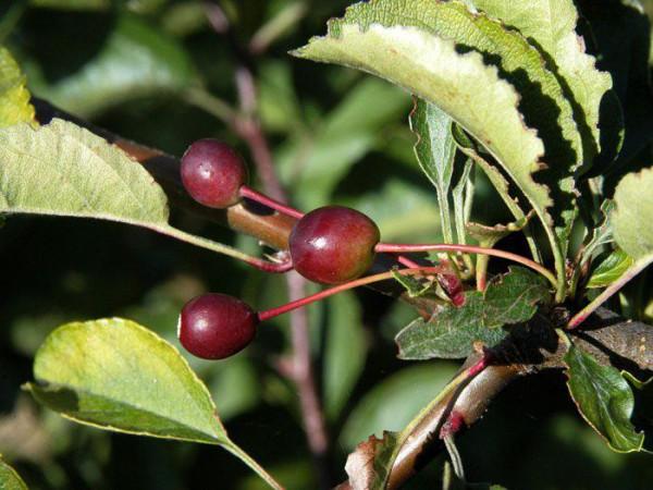 Zierapfel Tina Frucht