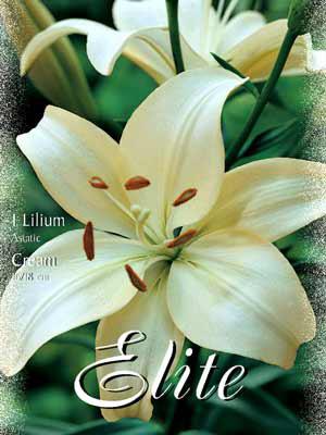 Asiatische Lilien-Hybride 'Cream', Lilium (Art.Nr. 521660)