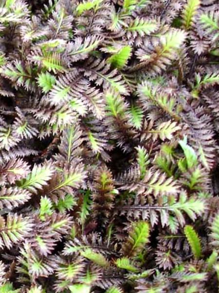 braun-grüne Belaubung des Fiederpolsters 'Platt's Black'