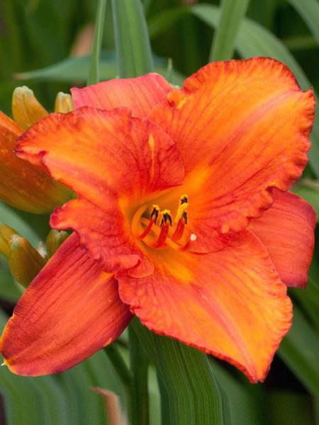 Hemerocallis x cultorum 'Mauna Loa', Garten-Taglilie