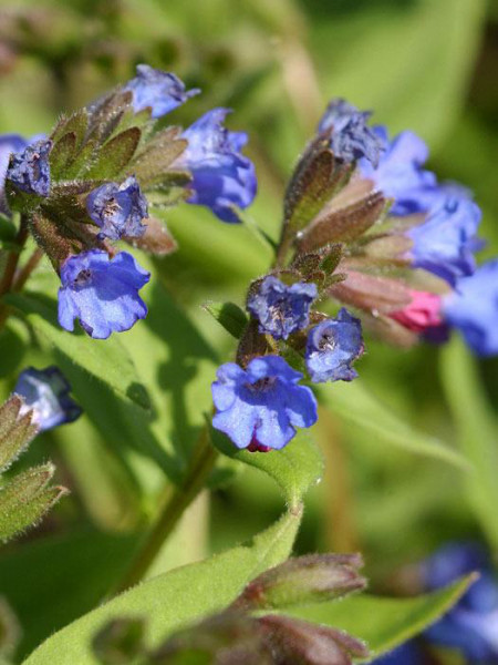 Blaues Lungenkraut Azurea Blüte