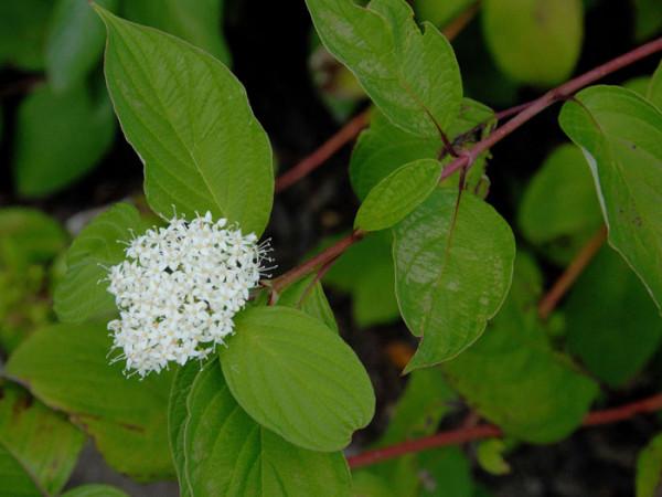 Blatt und Blüte des Sibirischen Hartriegels