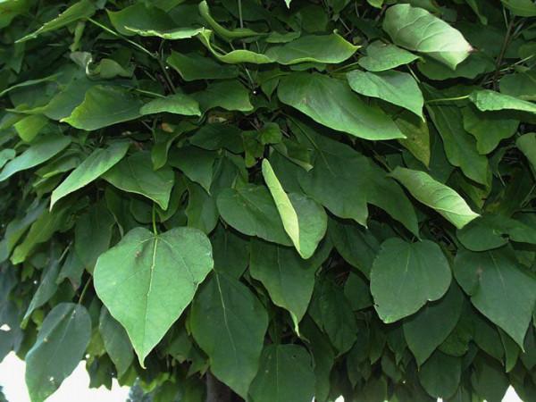 Catalpa bignonioides nana, Kugel-Trompetenbaum - XXL-Produkt