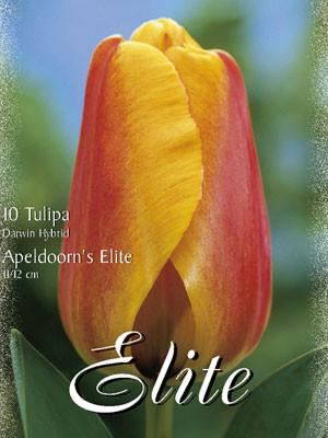 Darwin-Hybrid-Tulpe 'Apeldoorns Elite' (Art.Nr. 595294)