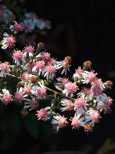 Aster laterifolius var. horizontalis 'Lady in Black', Waagerechte Aster, Herbst-Aster,