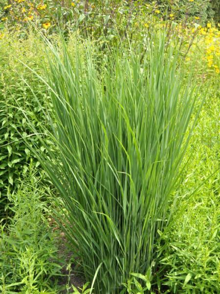 Panicum virgatum 'Northwind', Riesen-Ruten-Hirse, Zier-Hirse