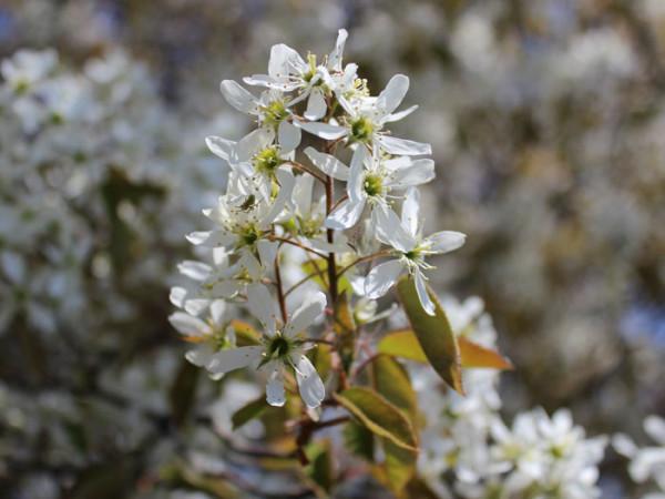 Weiße Blüte der Kupfer-Felsenbirne