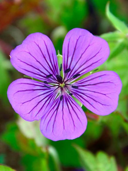 Die Blüte des Wiesen-Storchschnabels 'Pink Penny'