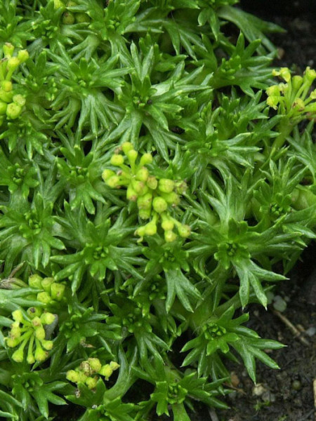 Azorella trifurcata 'Nana', Zwerg-Andenpolster