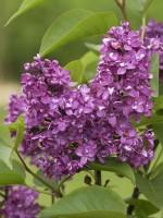Syringa vulgaris 'Charles Joly', Edel-Flieder