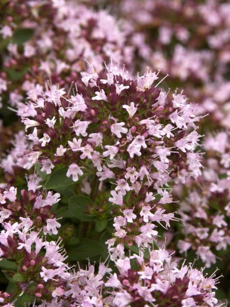 Heidegünsel Blütenstand