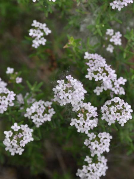 Grüner Zitronenthymian, Thymus citriodorus