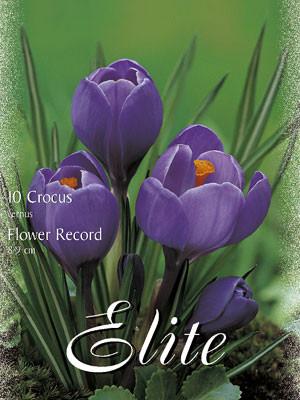 Großblumiger Gartenkrokus 'Flower Record' (Art.Nr. 596250)