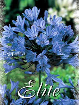 Schmucklilie 'Blue', Agapanthus umbellatum (Art.Nr. 520710)
