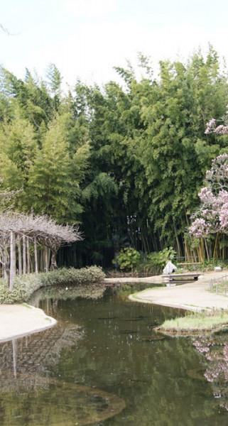 Phyllostachys nigra 'Henonis', Goldhaar-Bambus