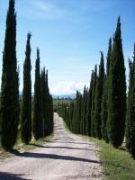 Cupressus sempervirens 'Totem', Toscana-Zypresse