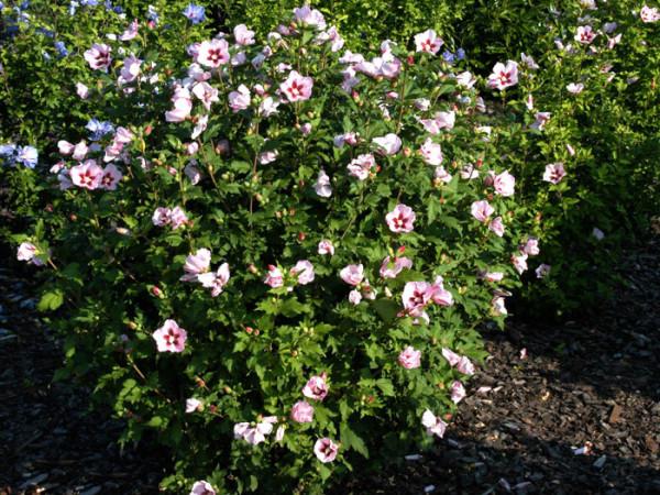Roseneibisch Hamabo in voller Blüte