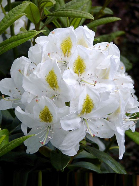 Rhododendron 'Madame Masson' INKARHO®
