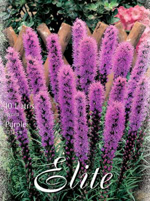 Prachtscharte 'Purple', Liatris spicata (Art.Nr. 521640)