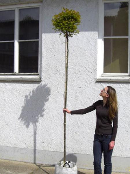 Quercus palustris 'Green Dwarf', Kugel-Sumpfeiche - XXL-Produkt