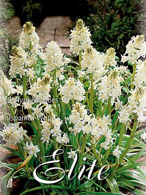 Hasenglöckchen 'Weiß', Hyacinthoides (Art.Nr. 596850)