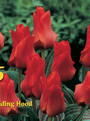 Greigii-Tulpe 'Double Red Riding Hood' (Art.Nr. 595762)
