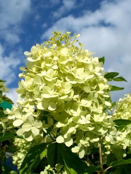Rispen-Hortensie Limelight Blüte
