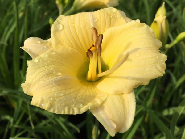 Hemerocallis Hybride 'Longfield's Pearl', Taglilie