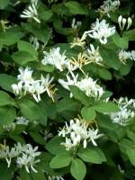 Lonicera xylosteum, Gewöhnliche Heckenkirsche