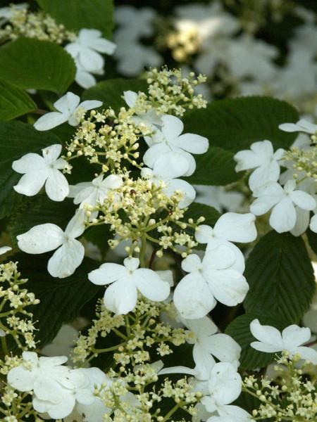 Japanischer Schneeball Blüte
