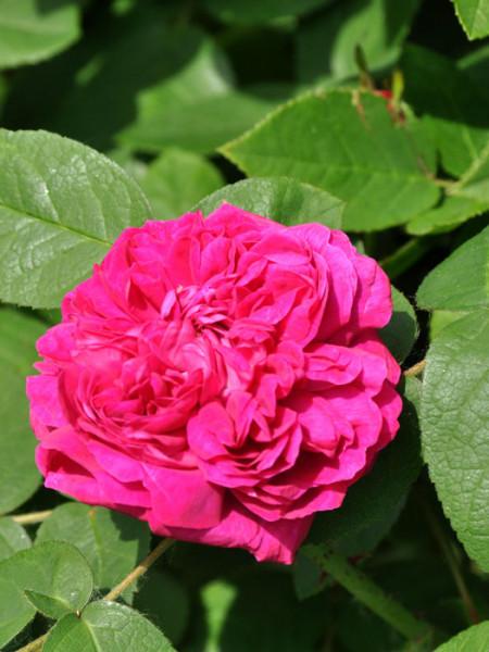 Blüte der Rose de Resht