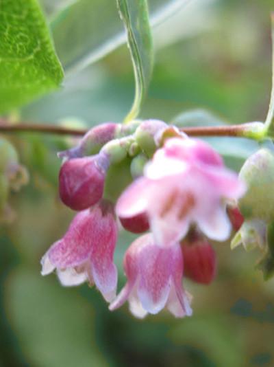 Schneebeere Blüte