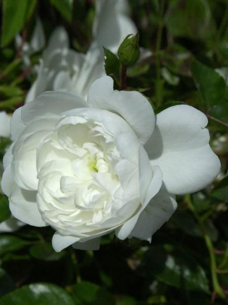 Blühende Rose Snopw Ballet