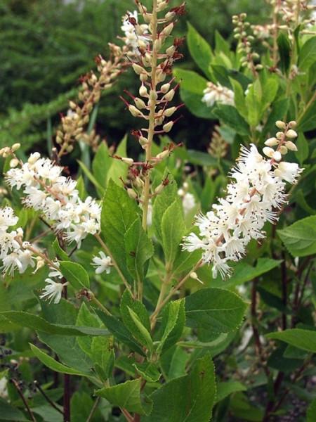 Blütenstände der Zimterle
