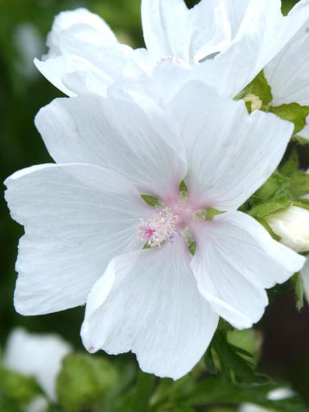 Malva moschata 'Alba', Weiße Moschus-Malve
