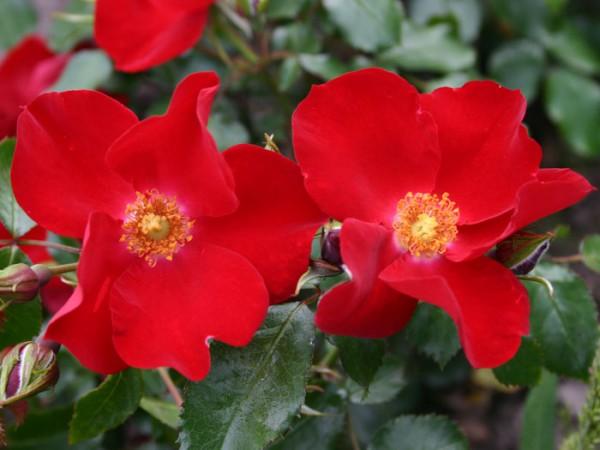 Rose Apache Pflanze