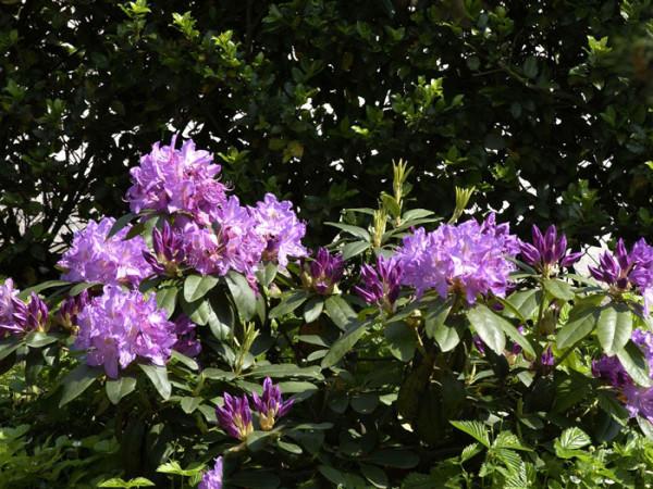 Rhododendron 'Purpureum Grandiflorum'