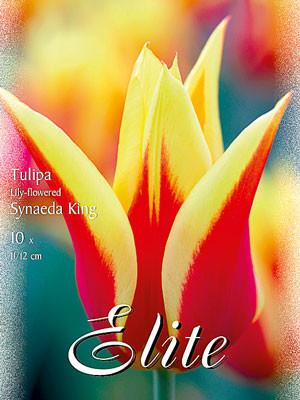 Lilienblütige Tulpe 'Synaeda King' (Art.Nr. 595477)