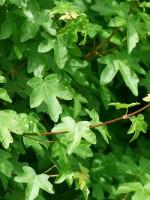 Acer campestre, Feldahorn, Maßholder