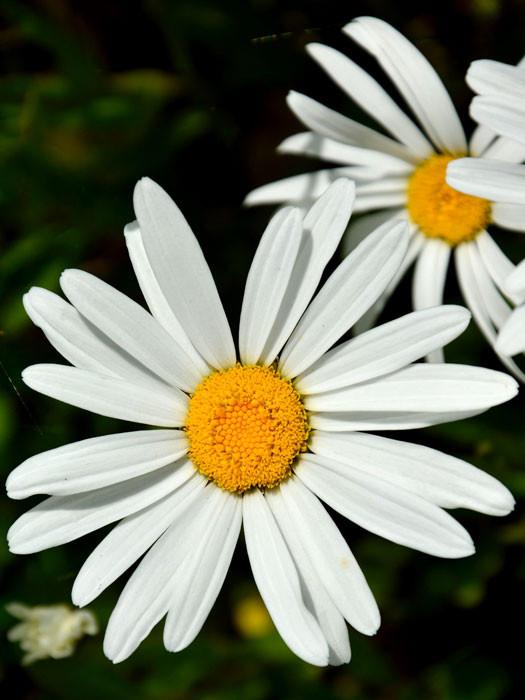 Chrysanthemum maximum Garten-Margerite Silberprinzesschen weiss niedrig