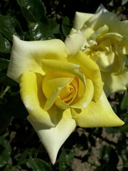 Blüte der Rose Berolina