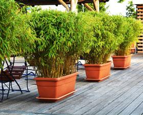 bambus online kaufen gartencenter shop24. Black Bedroom Furniture Sets. Home Design Ideas
