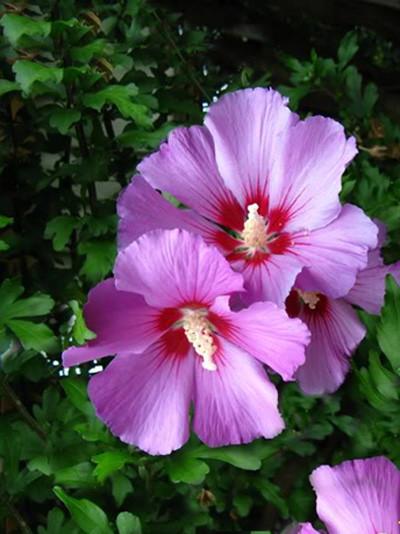 Garteneibisch Russian Violet