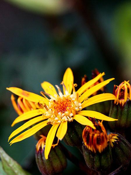 Ligularia stenocephala 'Osiris Fantasie', Japanischer Goldkolben, Kerzen-Goldkolben, Kreuzkraut
