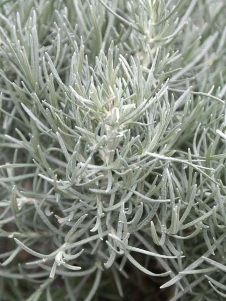 Currykraut, Currystrauch, Helichrysum italicum