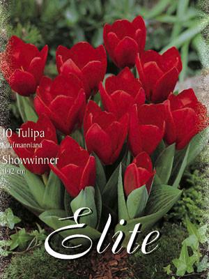 Kaufmanniana-Tulpe 'Showwinner' (Art.Nr. 595840)