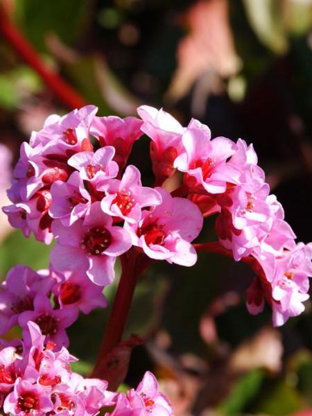 Rosarotes Blühwunder: Die Bergnie 'Herbstblüte'