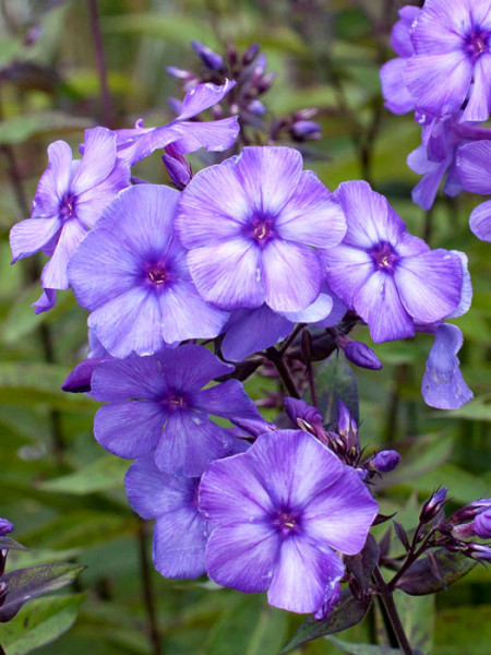 Phlox paniculata 'Blue Paradise', Flammenblume, Sommerphlox