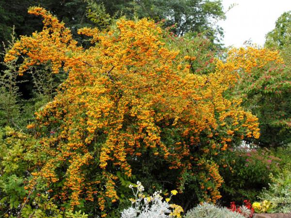 Gelbfruchtiger Feuerdorn als Solitärstrauch